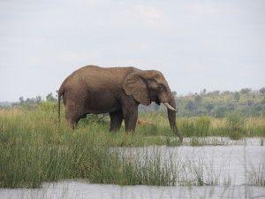 Bull elephant drinking at one of the many watering holes of the oilanesberg