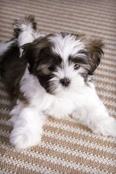 This is my little buddy, Benji when he was a puppy. He is a Shih Tzu and Maltese mix (Majority Shih Tzu)