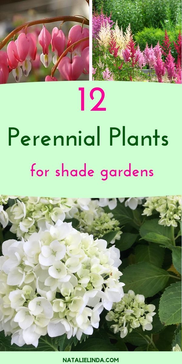 12 Shade Perennials That Will Beautify Sheltered Areas Of Your Yard Natalie Linda Shade Garden Design Shade Garden Plants Flowers Perennials