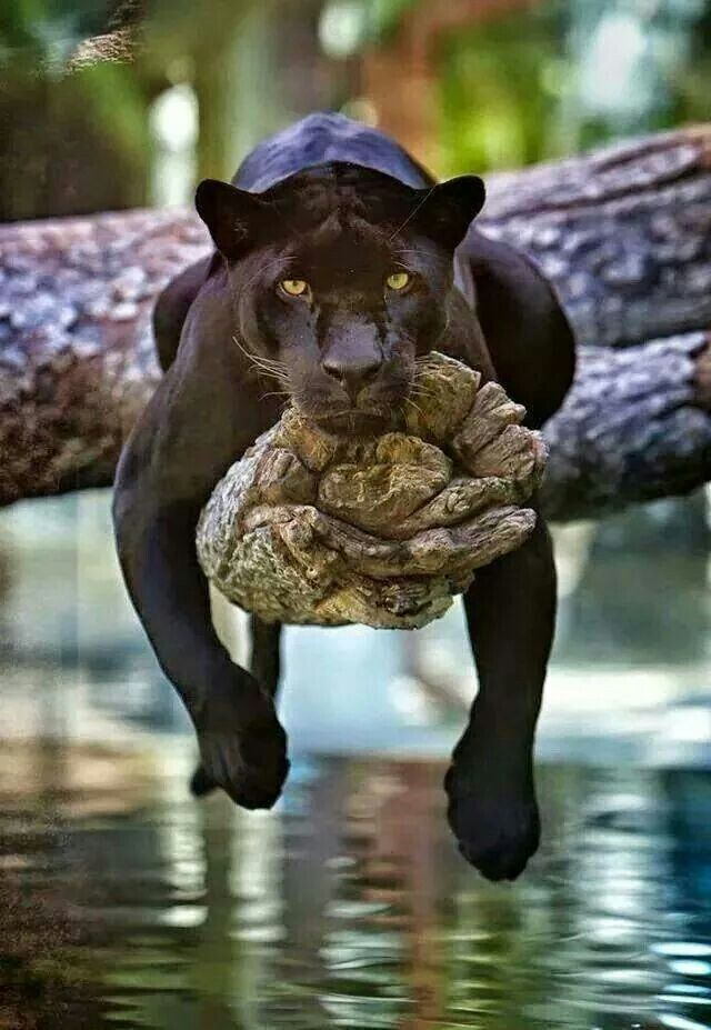 Beautiful Panther
