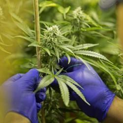 El decreto presidencial regula el cultivo, la producción y la venta de productos a base de marihuana. No contempla la legalización del consumo libre