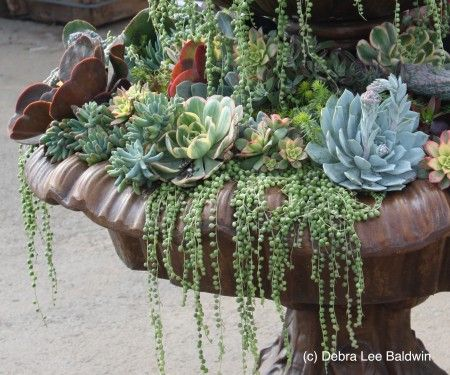 "Succulent arrangement in dry bird bath. Namely with ""String of Pearls"" plant cascading over the side like droplets of water."