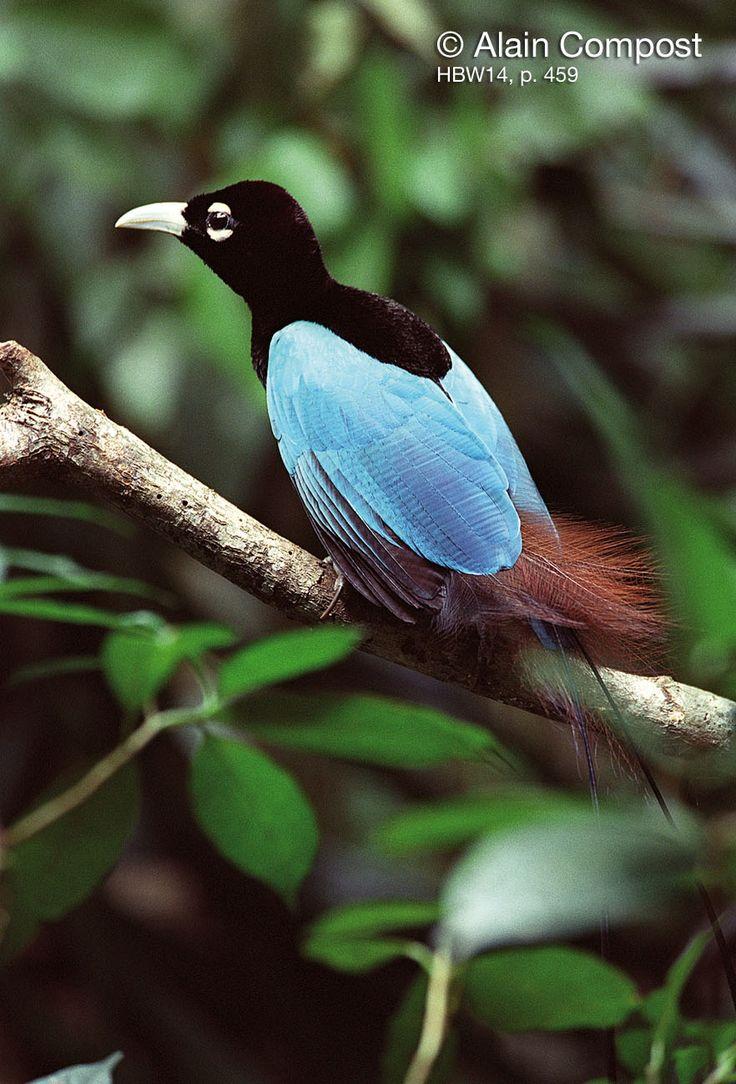 paradisebirds.net p