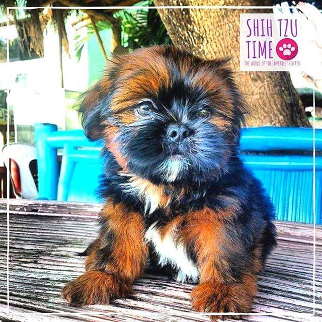 Shih Tzu Hairstyles Puppies In 2020 Shih Tzu Shih Tzu Grooming Shih Tzu Training