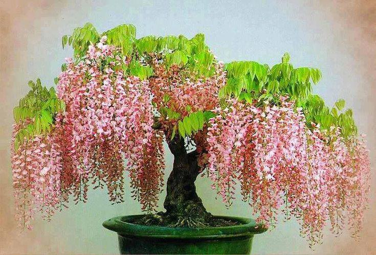 Pink Wisteria Bonsai... Incredibly Beautiful.