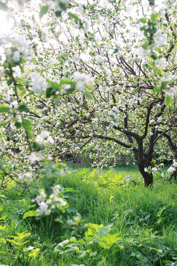 Flowering Apple Tree With Bright White Flowers Stock Photo Sponsored Tree Bright Flowering Apple Ad Apple Tree Flowers Apple Tree White Flowers