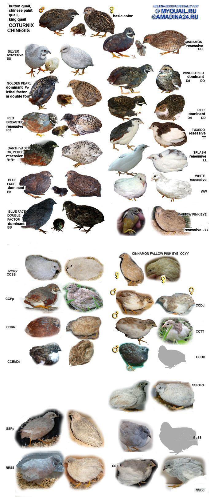 Cores da codorna chinesa (Coturnix chinensis). King quail. Button quail. Imagem do site: Myquail.ru