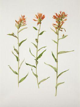 Drawing of Indian Paintbrush | botanical