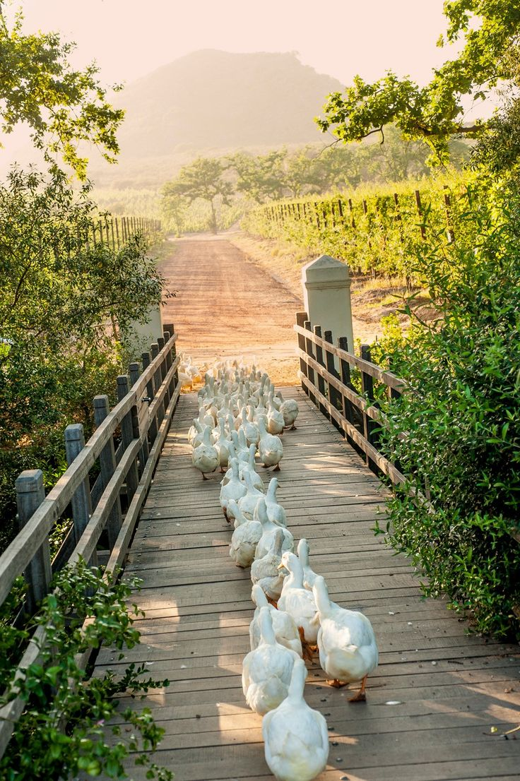 .~Working-ducks-cross-the-bridge-to-the-vineyards,-cape-winelands-babylonstoren~.
