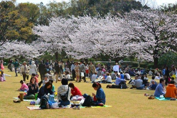 picnic under the sakura tblossom in tokyo