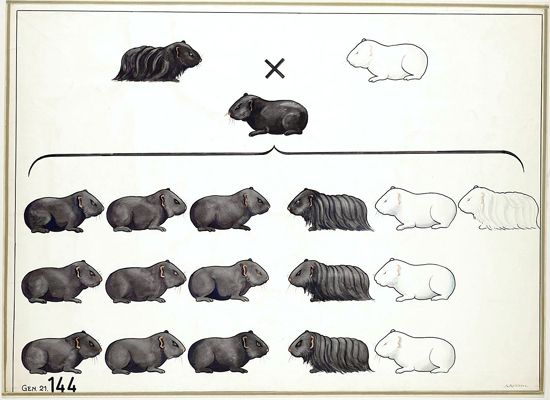 """HowMendel's geneticswork, in vintage illustrations from the era of Youmans's chemistry diagrams.  Ah, Mendel. You brilliant monk.  This is a beautiful example of the (optimal) pattern seen when you cross two organisms with a mixture of dominant (black/short hair) and recessive (white/short hair) genes, also known by the mouthful """"dihybrid cross"""". You can dig into it a little more here."""
