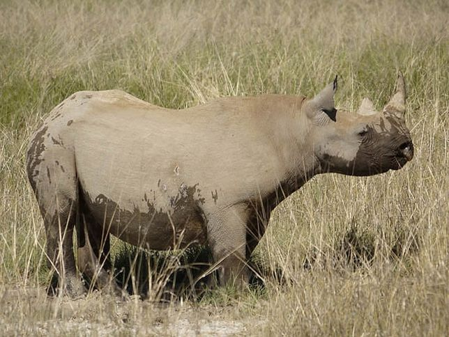 black rhino, gone from much of Africa, once thought extinct, some still exist. They are critically endangered and are jeopardized by poachers.