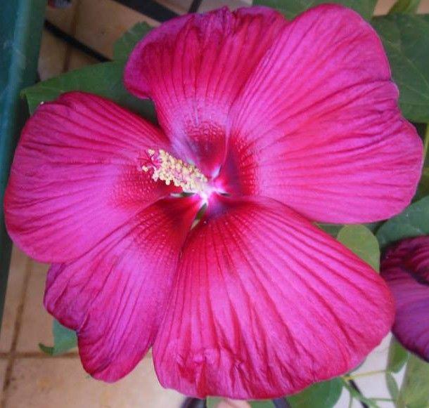 hibiscus moscheutos luna 2015
