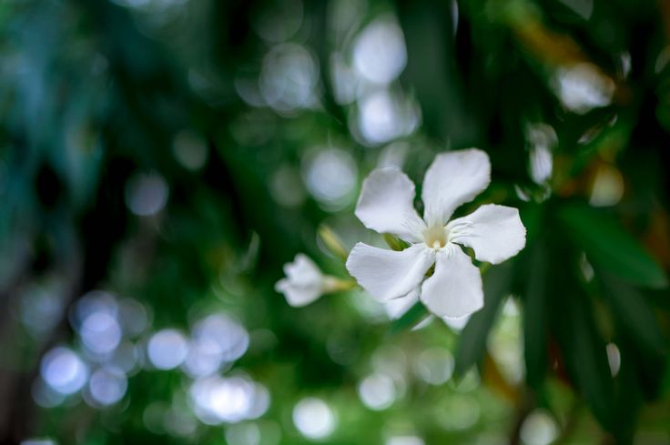 https://flic.kr/p/uAxApa | Flower of Oleander | 夾竹桃の花