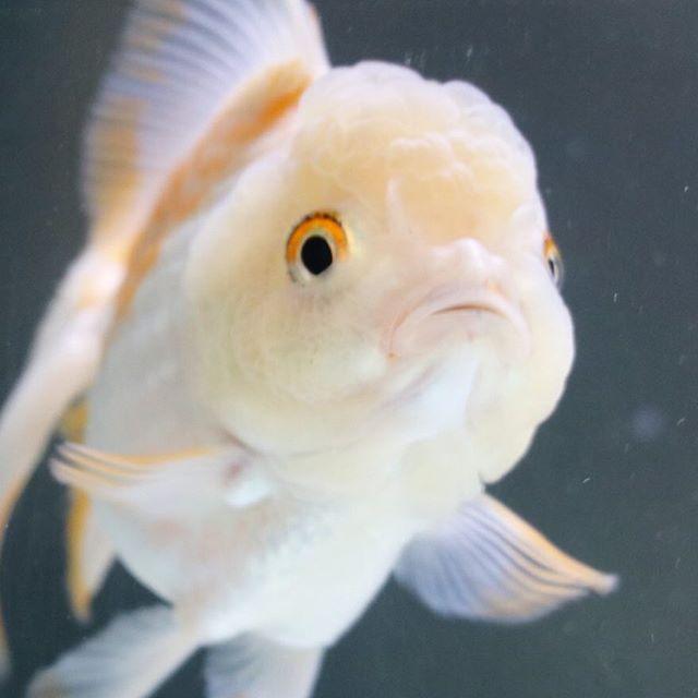 【goldfish_angel33】さんのInstagramをピンしています。 《You're a confort to me😉We have 3day holiday in Japan👍I changed water! 今日は水換えをしました! 90㎝水槽を立ち上げて一週間が経ち、亜硝酸値を測ったら結構危なかったので(´-_-。`)ちょっと餌をやり過ぎたよう 150リットリの水換えはなかなか大変だぁ、、。ギックリ腰にならないように気をつけよう💦 #goldfish #goldfishunion #goldfishtank #aquarium #goldfishofinstagram #watertank #orandagoldfish #アクアリウム #redcaporanda #金魚 #東錦 #丹頂 #水槽#桜東錦 #金魚水槽 #goldfishkeepers #goldfishlover#caricooranda#instagoldfish #らんちゅう #telescopebutterfly #蝶尾#ranchu#goldfishinstagram…