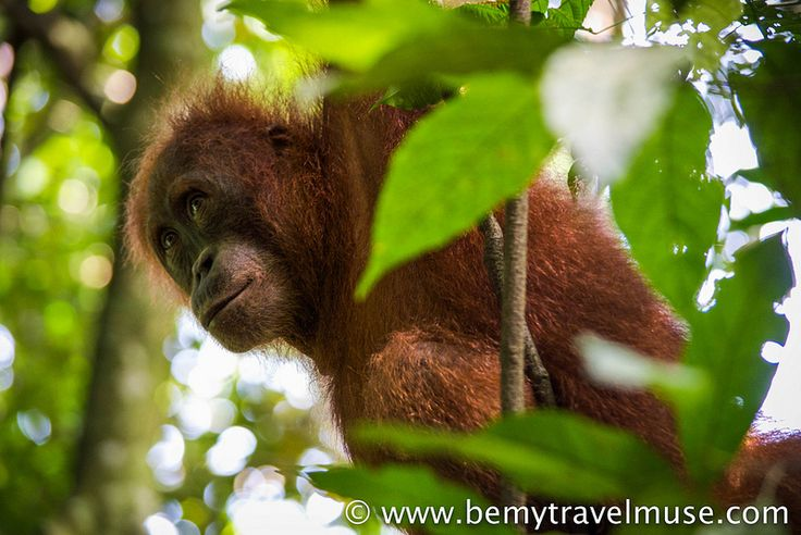 One of the best places to see Orangutans is in Bukit Lawang in Sumatra, Indonesia. See the photos and find out how to hire the right guide for your trek.