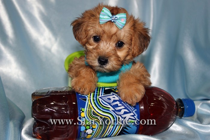 Teacup Maltipoo - I'm in love <3