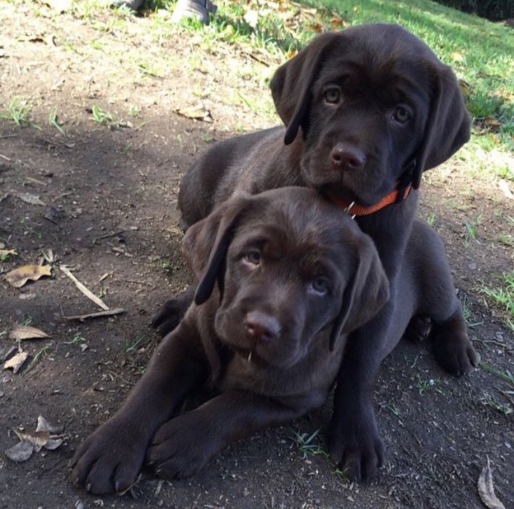 This is why I should have gotten two chocolate labs