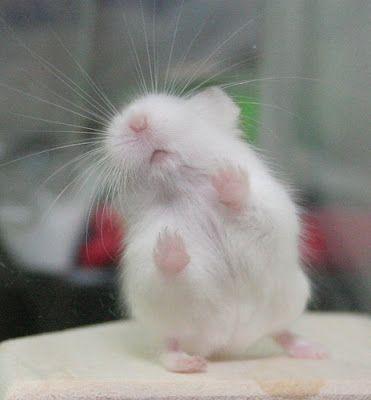Little Snowball hamster