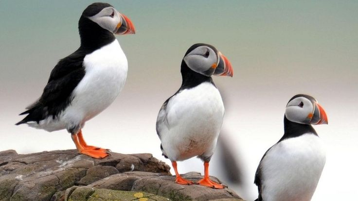 Four UK bird species including puffins 'face extinction'