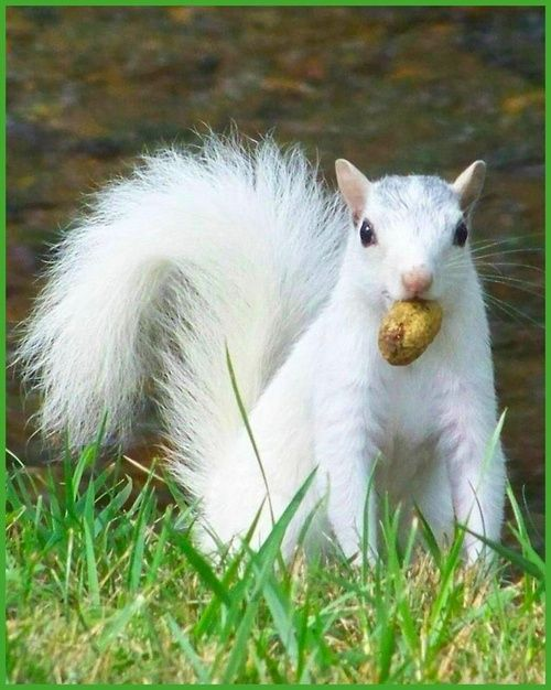 Albino squirrel - we have one living in the pine tree in the backyard.