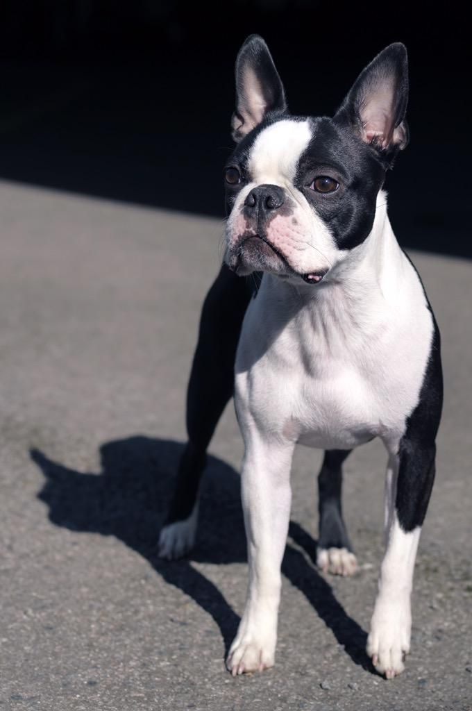 He's Very Handsome, Isn't he? This is Archie, an 18 Months Old Boston Terrier from London! ► http://www.bterrier.com/?p=29044 - https://www.facebook.com/bterrierdogs