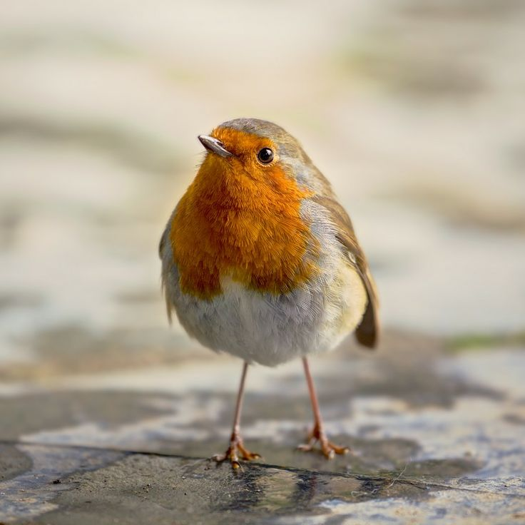 Robin Of Heligan. by John Lunt on 500px