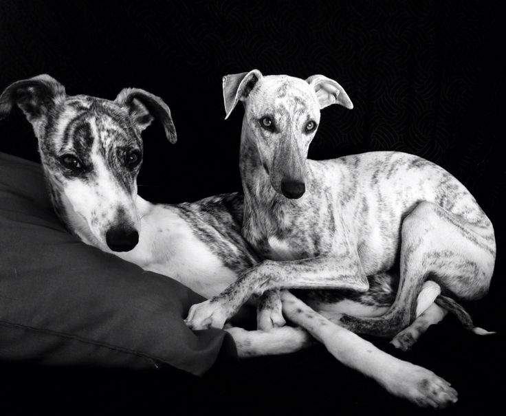 Our Whippets❤️❤️