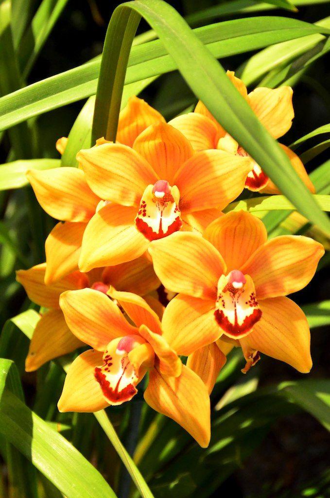 17 Best Images About Orchids Cymbidium On Pinterest