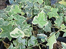 Get tips for growing English ivy. Care is easy -- and it's a beautiful accent plant with lobed leaves and lush, trailing vines. Discover different types of ivy house plants. Profile, ivy plant care tips, and pictures.