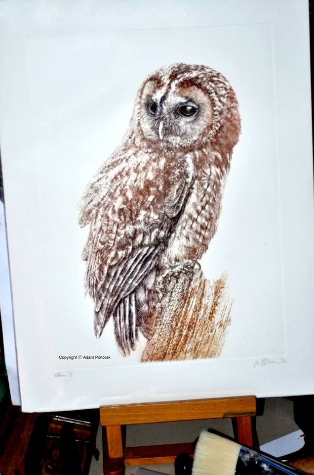 tawnyowl / brownowl