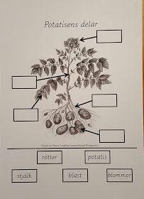 Vi har tidigare år sått potatis på förskolan tillsammans med barnen och i samband med att vi har skördat potatisen har vi tittat närmre på p...
