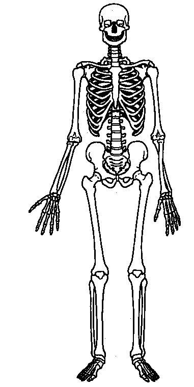 human body skeletal system unlabled blank skeleton hw. Black Bedroom Furniture Sets. Home Design Ideas