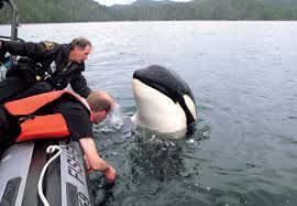 Oceans and Fisheries had quite a time with the orca named Luna who just wanted a pod.