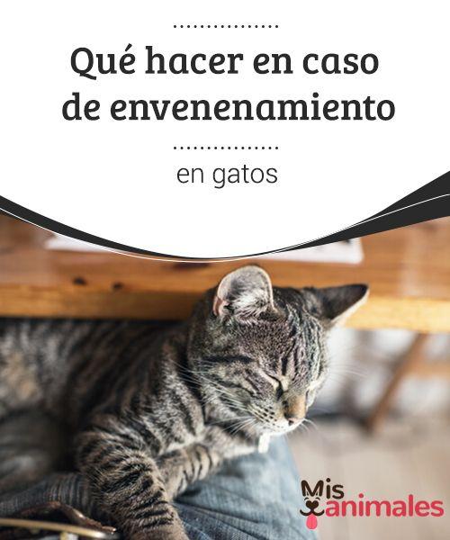 Qué hacer en caso de #envenenamiento en gatos  Los #animales que suelen estar en la calle son los más #expuestos a ciertos tipos de situaciones, como consumir o toparse con hierbas venenosas, entrar contacto o #consumir alimentos modificados químicamente, etc.