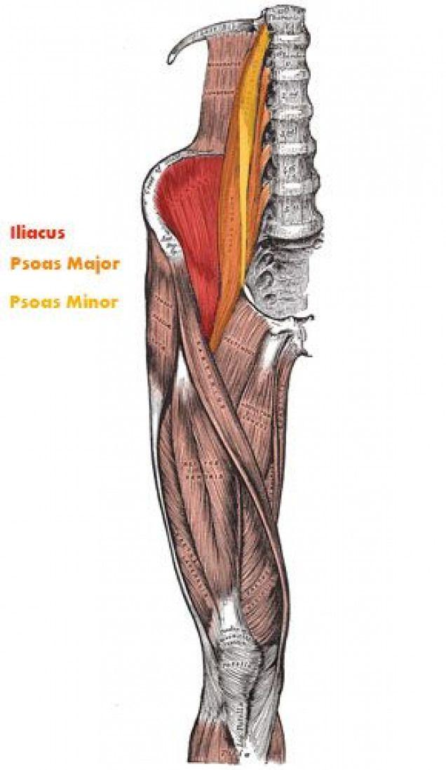Iliopsoas Muscle Lowerbackpain Lower Back Pain Muscle Back