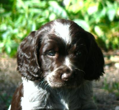 Dit is een pup van een Duitse wachtelhond schattig hé.