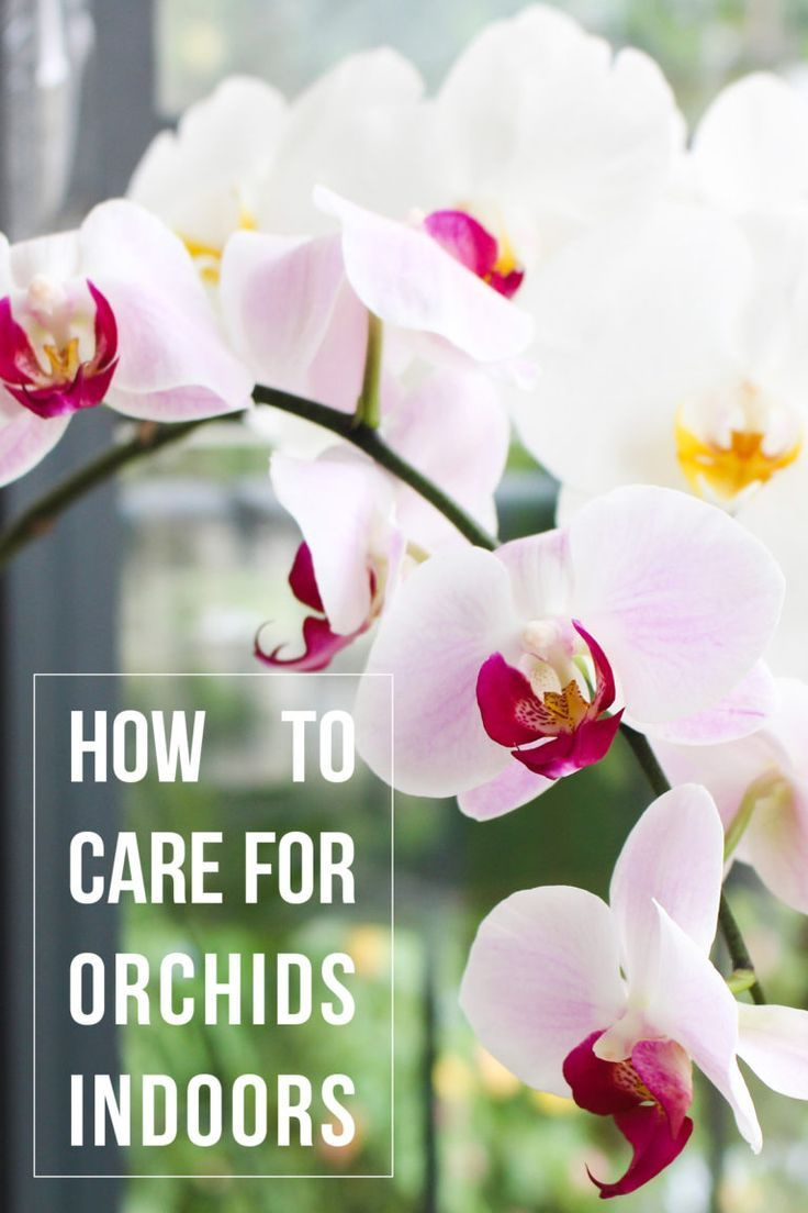 How To Care For Orchids Indoors Indoor Orchids Orchid Care Growing Orchids