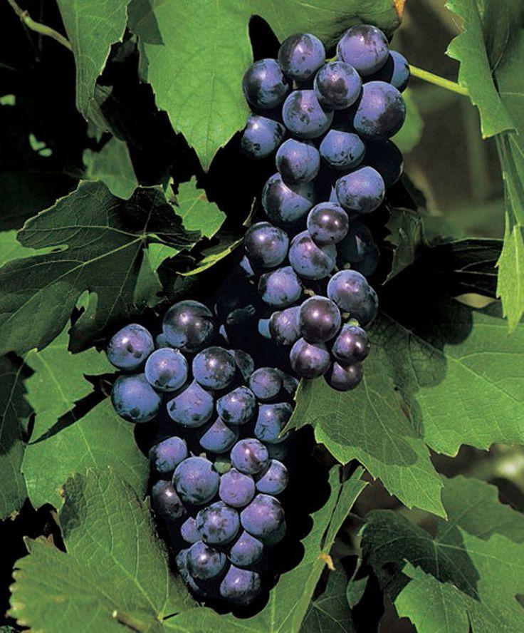 Druiven 'Muscat Blue' - Klimmer (Vitis vinifera 'Muscat Blue')   http://www.bakker-be.com/nl/product/druiven-muscat-blue-/