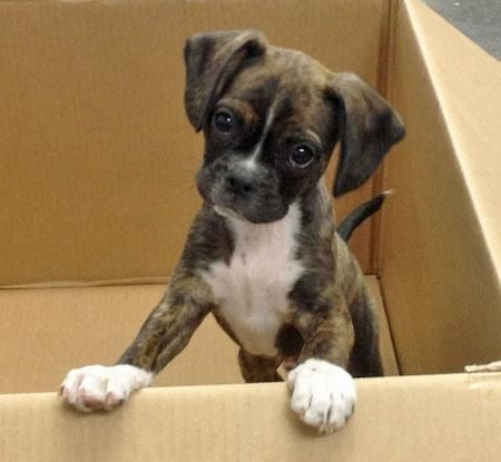 Boston Terrier/King Charles Cavalier mix. He looks like a mini Boxer! I will get one!!