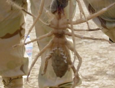 Here Pussy biggest camel spider will