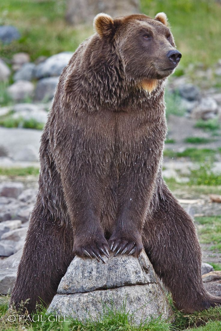 Grizzly bear sitting up - photo#44