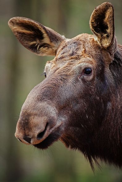Moose A lot of people think I'm crazy, but I love Moose and think they are cute!!