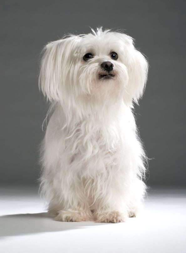 ⏪ Maltese ⏩ small breed of dog in the Toy Group. It descends from dogs originating in the Central Mediterranean Area. Maltese are bred to be cuddly companion dogs, and thrive on love and attention.