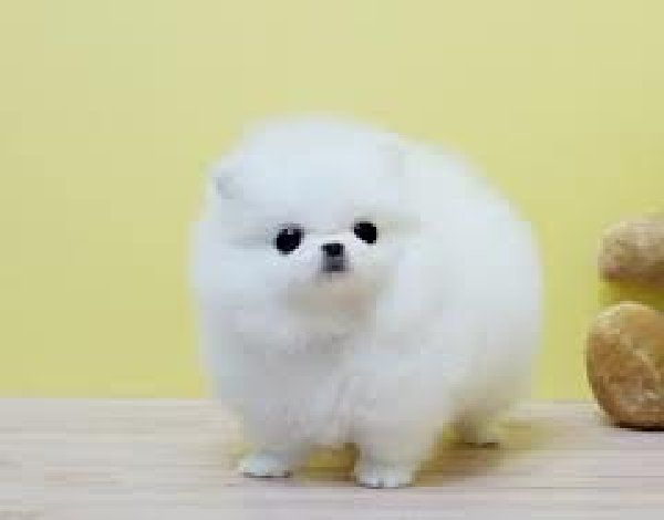 cute baby pomeranian puppies Quotes