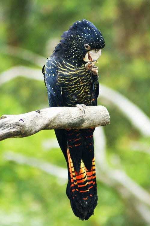 Red-Tailed Black Cockatoo. Photo by cobaltsenheiser