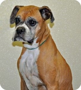 Port Washington, NY - Boxer. Meet Scarlet a Dog for Adoption.