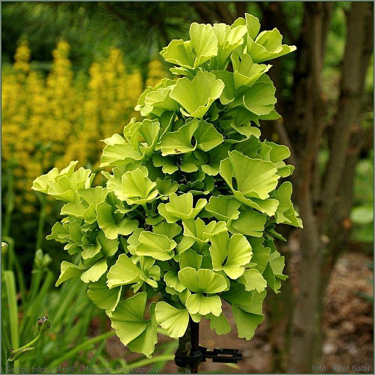 23 best ginkgo biloba images on pinterest shrubs ginko. Black Bedroom Furniture Sets. Home Design Ideas