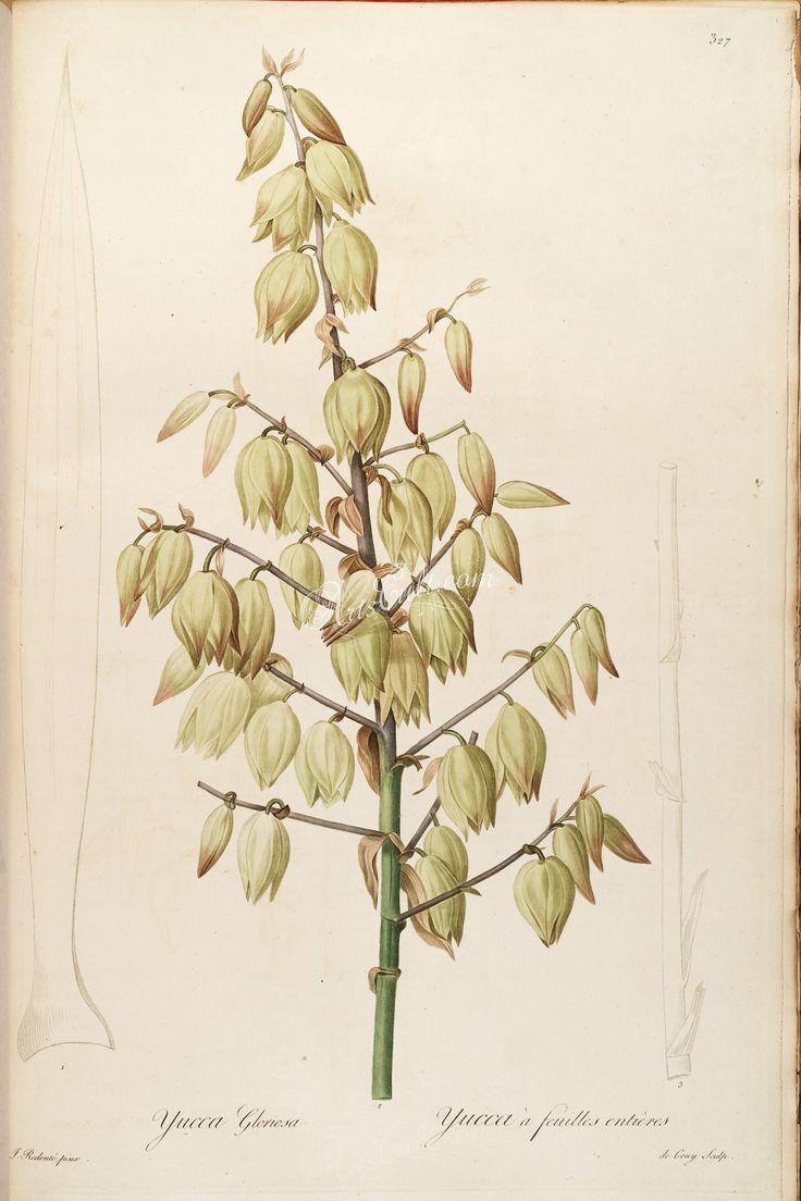 yucca gloriosa, 2      ...