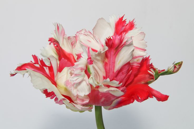 Red/white parrot tulip | Flickr - Photo Sharing!